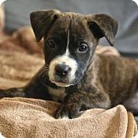 Adopt A Pet :: Rhodes - Houston, TX