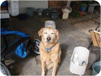Labrador Retriever/Golden Retriever Mix Dog for adoption in Chandler, Arizona - Toby