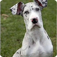Adopt A Pet :: Shaunie - Pearl River, NY