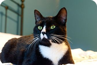 Domestic Shorthair Cat for adoption in Nashville, Tennessee - Noah