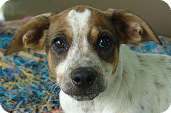 Beagle/Blue Heeler Mix Puppy for adoption in Staunton, Virginia - Janga