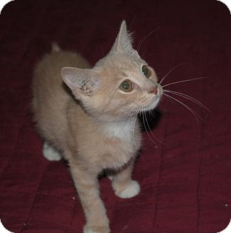 Domestic Shorthair Kitten for adoption in Middletown, Ohio - Piscatella