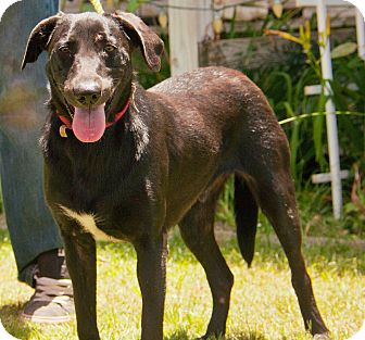 Labrador Retriever Mix Dog for adoption in Seattle, Washington - A - IKE