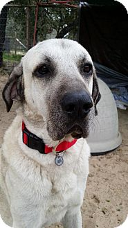 Anatolian Shepherd/Great Pyrenees Mix Dog for adoption in San Antonio, Texas - Louie
