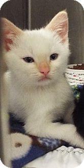 Siamese Kitten for adoption in Grants Pass, Oregon - Zaki