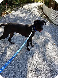 Great Dane/Labrador Retriever Mix Dog for adoption in LaGrange, Kentucky - CLAYTON