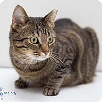 Adopt A Pet :: Melody - Merrifield, VA