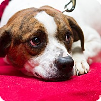 Beagle Mix Dog for adoption in Evansville, Indiana - Halo