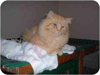 Domestic Longhair Cat for adoption in Lethbridge, Alberta - Simba