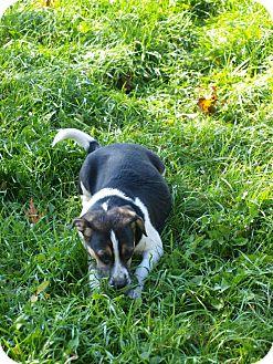 Pug/Beagle Mix Puppy for adoption in Toronto/Etobicoke/GTA, Ontario - Treat - puggle