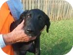 Labrador Retriever Mix Puppy for adoption in Manchester, Connecticut - Penny in Ct