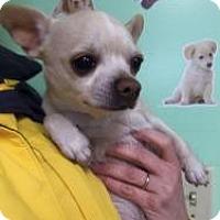 Adopt A Pet :: Cookie - Shawnee Mission, KS