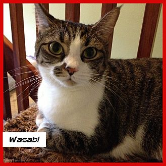 Domestic Shorthair Cat for adoption in Miami, Florida - Wasabi