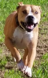 American Pit Bull Terrier Dog for adoption in Denton, Texas - Baxter