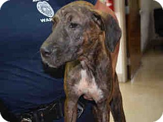 Plott Hound Mix Puppy for adoption in Newnan City, Georgia - Libby