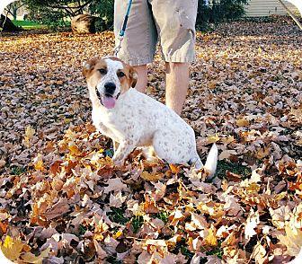 Australian Cattle Dog Mix Dog for adoption in Salamanca, New York - Bud  **Red Heeler**