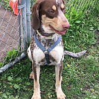 German Shorthaired Pointer/Coonhound Mix Dog for adoption in Deforest, Wisconsin - Piper