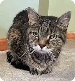 Domestic Shorthair Cat for adoption in Oswego, Illinois - Daisy (Senior) (By Appt)