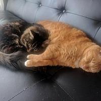 Adopt A Pet :: Hippolyte - Montreal, QC