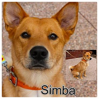Chow Chow/Shiba Inu Mix Dog for adoption in Garden City, Michigan - Simba