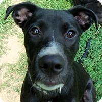 Adopt A Pet :: Miles - Indianapolis, IN