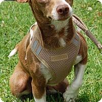 Adopt A Pet :: Jill - West Los Angeles, CA