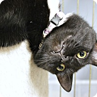 Domestic Shorthair Kitten for adoption in New Richmond,, Wisconsin - Tennessee