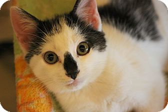 Domestic Shorthair Kitten for adoption in Carlisle, Pennsylvania - Amos