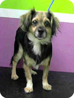 Lhasa Apso/Chihuahua Mix Dog for adoption in Fort Collins, Colorado - Cookie