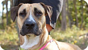 Shepherd (Unknown Type)/Belgian Malinois Mix Dog for adoption in Summerville, South Carolina - Rain