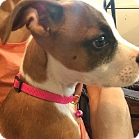 Adopt A Pet :: Boomer - grants pass, OR