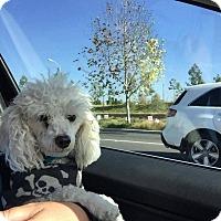 Adopt A Pet :: Jackson - Fountain Valley, CA