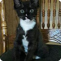 Adopt A Pet :: Socks - Spring, TX