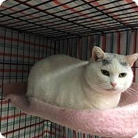 Adopt A Pet :: Big White - Acushnet, MA
