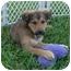 Photo 1 - Shepherd (Unknown Type)/Spaniel (Unknown Type) Mix Puppy for adoption in West Palm Beach, Florida - CHANEL