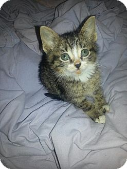 Domestic Shorthair Kitten for adoption in Chicago, Illinois - Delaney