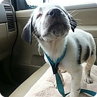 Adopt A Pet :: Luna - Madison, WI