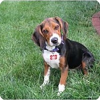 Adopt A Pet :: Ziggy - Indianapolis, IN