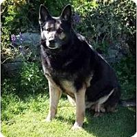 Adopt A Pet :: Amsel - Hamilton, MT