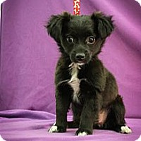Adopt A Pet :: Noelle - Broomfield, CO