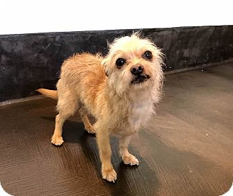 Terrier (Unknown Type, Small) Mix Dog for adoption in San Francisco, California - Coco