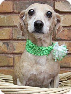 Dachshund/Terrier (Unknown Type, Small) Mix Dog for adoption in Benbrook, Texas - Harmony