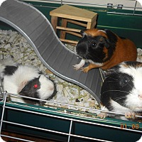 Adopt A Pet :: female guinea pigs - haslet, TX