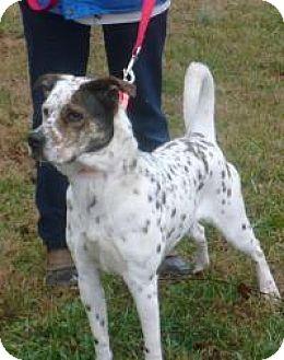 Pointer/Hound (Unknown Type) Mix Dog for adoption in Mineral, Virginia - Cookie, D1