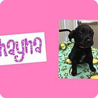 Adopt A Pet :: SHAYNA - Plano, TX