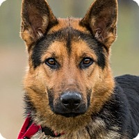 German Shepherd Dog Puppy for adoption in Dacula, Georgia - Brighton