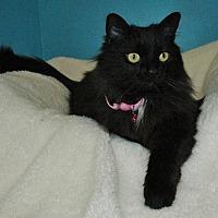 Domestic Longhair Cat for adoption in Cincinnati, Ohio - Rosebud