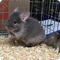 Adopt A Pet :: 2m brown velvet F chinchilla - Hammond, IN