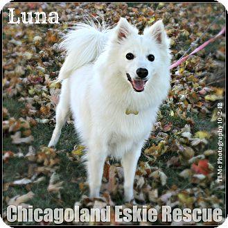 American Eskimo Dog Dog for adoption in Elmhurst, Illinois - Luna