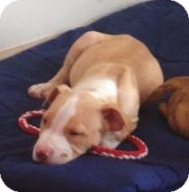 American Staffordshire Terrier/Terrier (Unknown Type, Medium) Mix Puppy for adoption in North Olmsted, Ohio - Ike